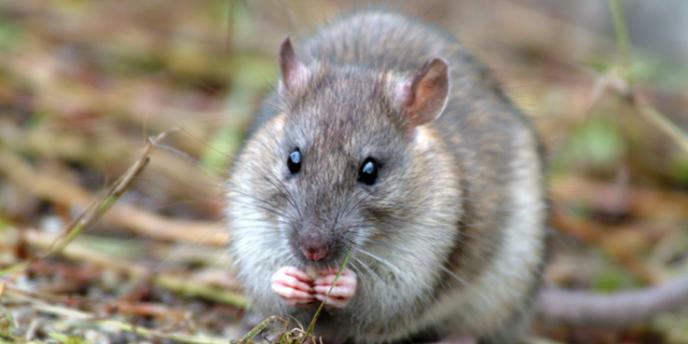 La bactérie de la peste se développe chez les rats.