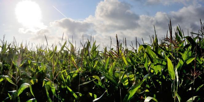 Un champ de maïs à Godewaersvelde, dans le nord de la France, en 2012.