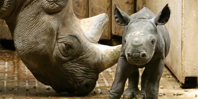 Un rhinocéros de 2 jours près de sa maman, au zoo de Krefeld, le 15 juillet 2013.