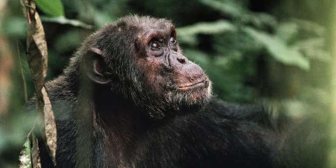 Un chimpanzé dans le parc des Virunga en RDC.