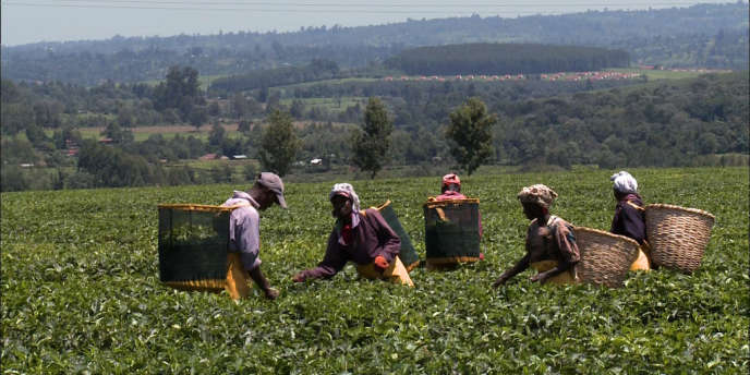 Culture et cueillette du thé, dans un village protégé du groupe Unilever, la multinationale anglo-néerlandaise implantée au Kenya.