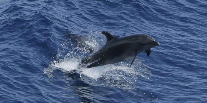 Un dauphin dans l'océan Atlantique, le 18 juillet.