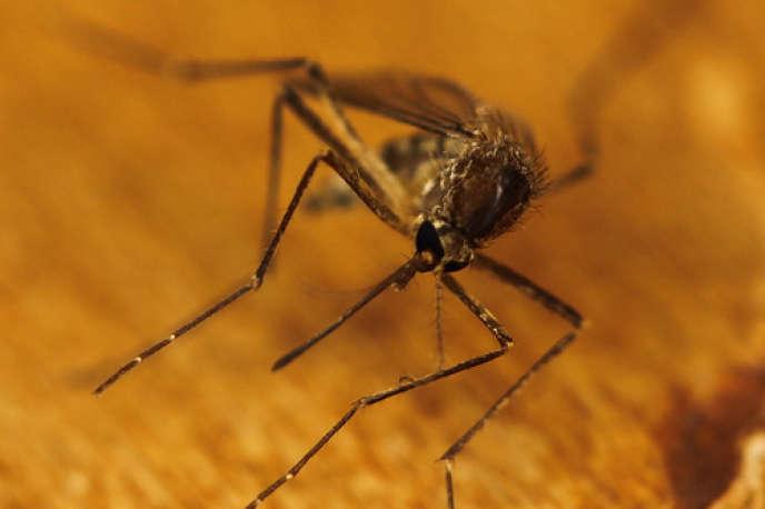 Les chercheurs de l'Institut Pasteur ont filmé une piqûre de moustique en pleine action