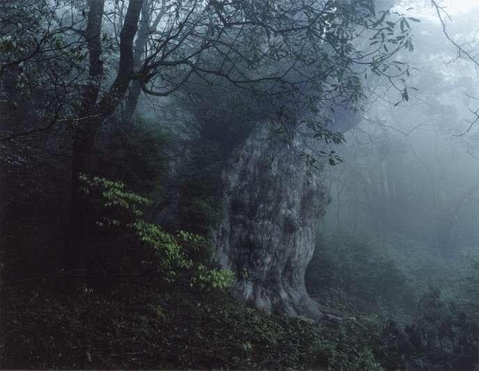 Baptisé Jomon Sugi,  le plus célèbre des cèdres de Yakushima aurait 7 200 ans. Il mesure dix mètres de circonférence. -