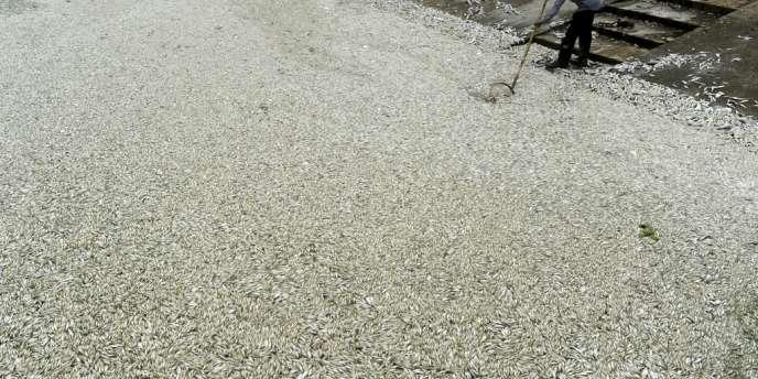 Cent tonnes de poissons morts ont été collectées dans une rivière polluée de la province du Hubei, en Chine.