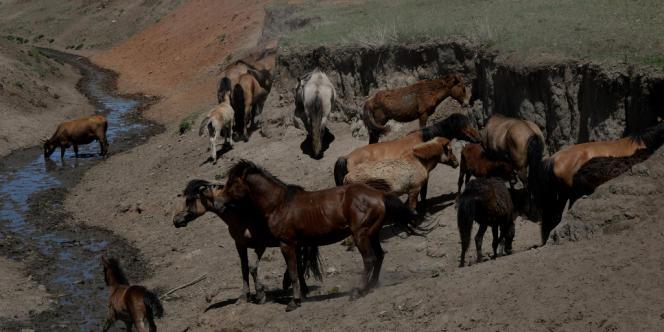Depuis vingt ans, les cheptels d'animaux domestiques ont presque doublé en Mongolie.