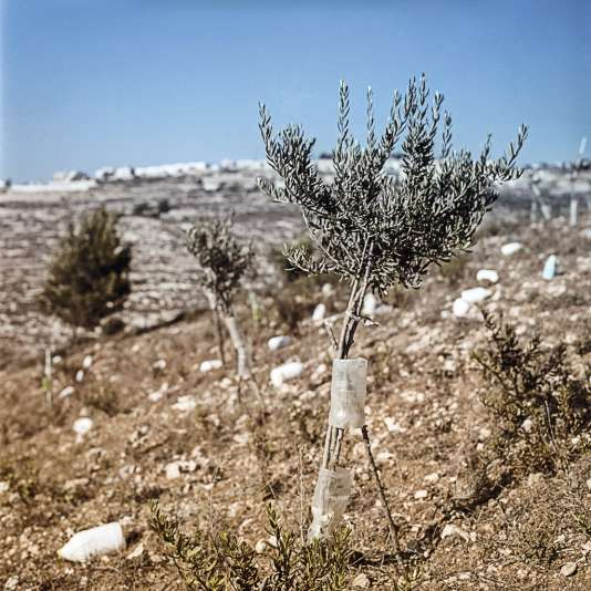 L'olivier (premier plan), arbre indigène de la vallée, est fortement concurrencé par le sapin (au fond), importé par les Britanniques dans les années 1920.