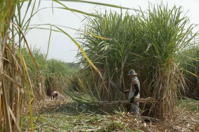 Champs de canne à sucre à Chichigalpa au Nicaragua.