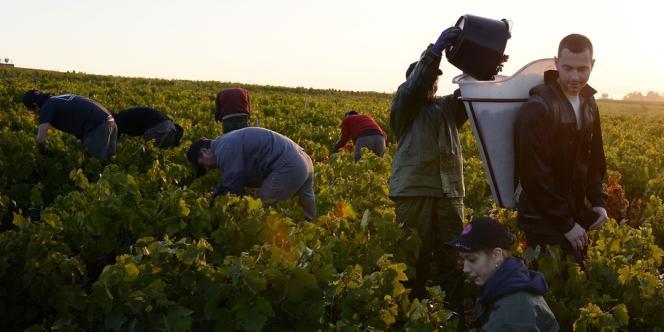 Après avoir abusé du succès du primeur, les viticulteurs du Beaujolais veulent se réhabiliter. Ici, dans les vignes du moulin-à-vent.
