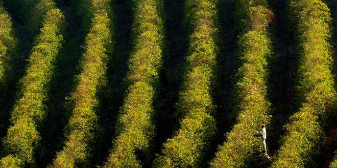 Plantations de café au Brésil.