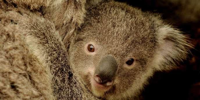 Le koala, animal icône de l'Australie, serait menacé par la hausse des températures.