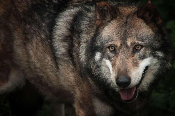 Le loup semble poursuivre sa marche vers le nord et l'ouest de la France.