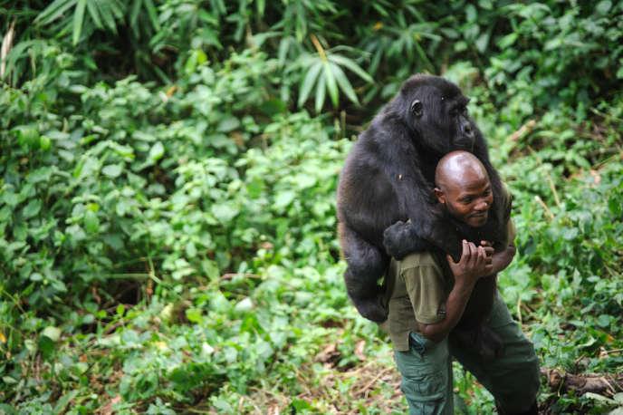 Un gardien du parc national Virunga, dans l'est de la RDC, joue avec un jeune gorille orphelin