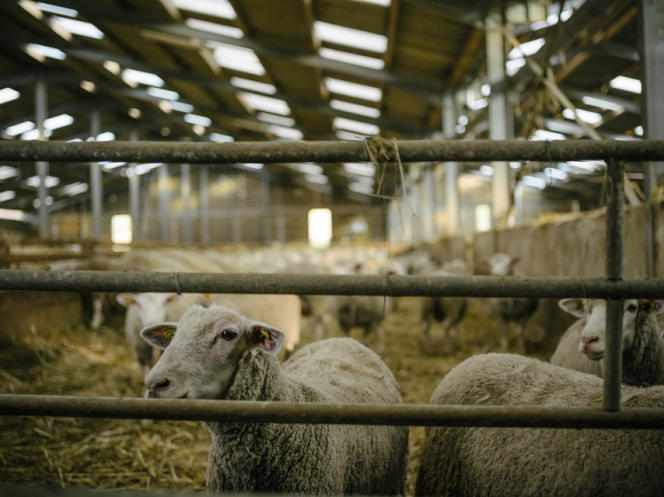 L'étable accueille seulement les brebis et leurs tout jeunes agneaux promis à la vente.