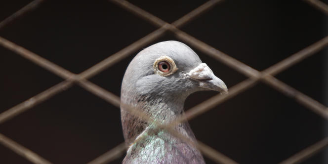 Des pigeons de compétition ont été contrôlés positifs à des substances dopantes en Belgique.