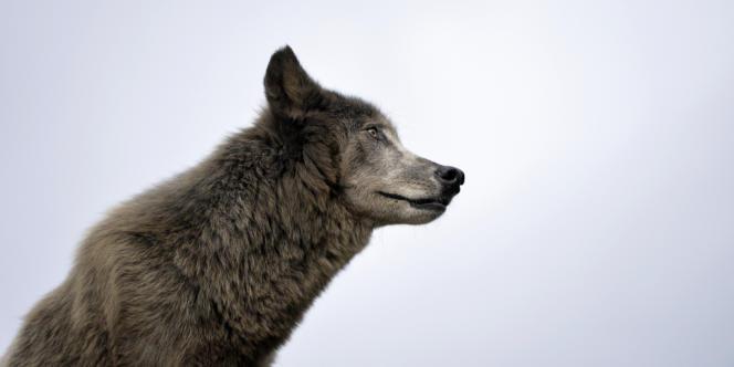 La population de loups croît en France à un rythme de 20 % par an/