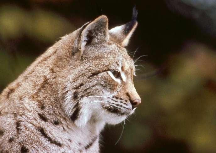 Photo d'un lynx boréal prise dans la forêt du massif vosgien, le 08 janvier 2004.