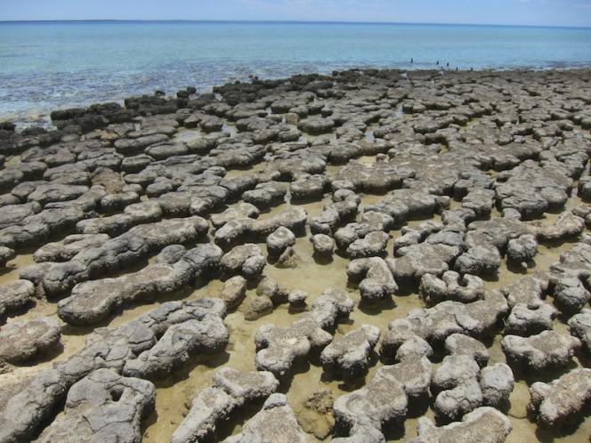 Ces stromatolithes de la baie Shark, en Australie, sont des formations calcaires modernes qui résultent de l'activité de colonies bactériennes. Des stromatolithes fossiles vieux de 3,5 milliards d'années sont les plus anciens témoins de la vie sur Terre.