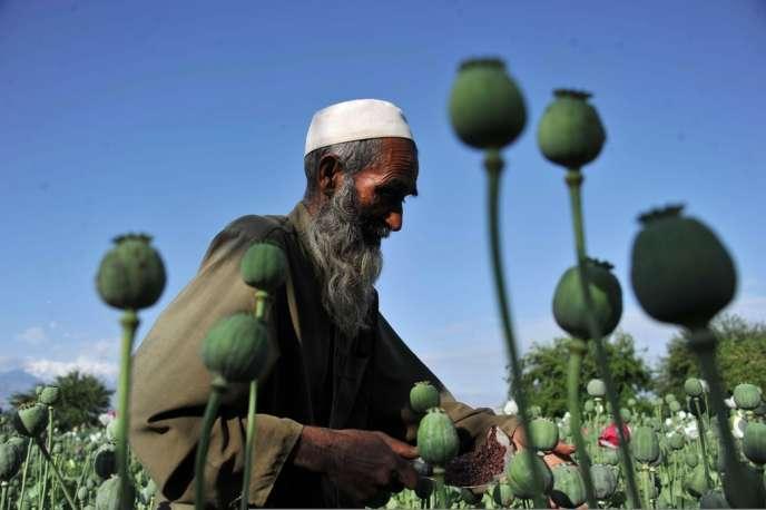 Récolte dans un champ de pavot, au mois d'avril 2013, dans la province de Nangarhar.