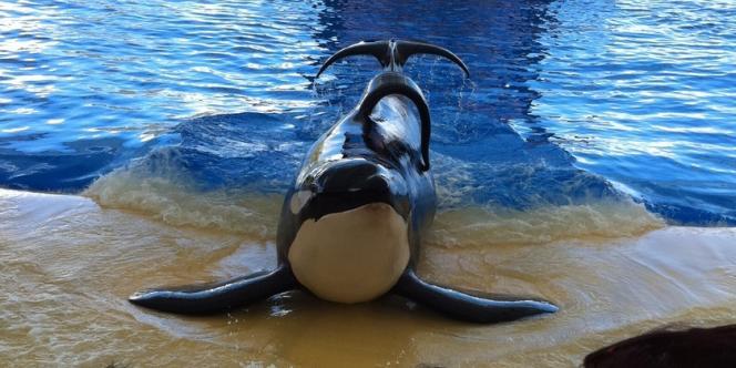 Tilikum, considéré comme le plus gros orque vivant en captivité, devant les visiteurs du parc aquatique d'Orlando, en Floride. Il est impliqué dans la mort de trois personnes.