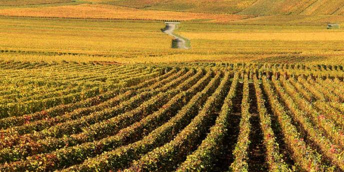 Un vignoble de Champagne, le 31 octobre 2013.