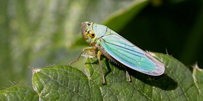 La cicadelle, insecte vecteur de la flavescence dorée.