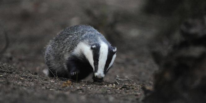 La chasse au mustélidé dans le Gloucestershire et le Somerset n'a pas donné les résultats escomptés.
