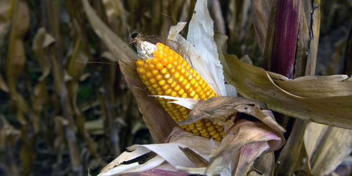 Maïs transgénique au Centre international d'amélioration du maïs et du blé du Mexique.