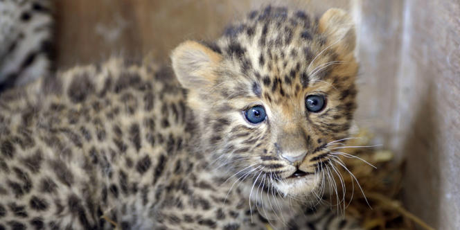 Le félin arrive en tête de la liste 2013 concernant l'évolution des espèces menacées, établie par le World Wide Fund for Nature.