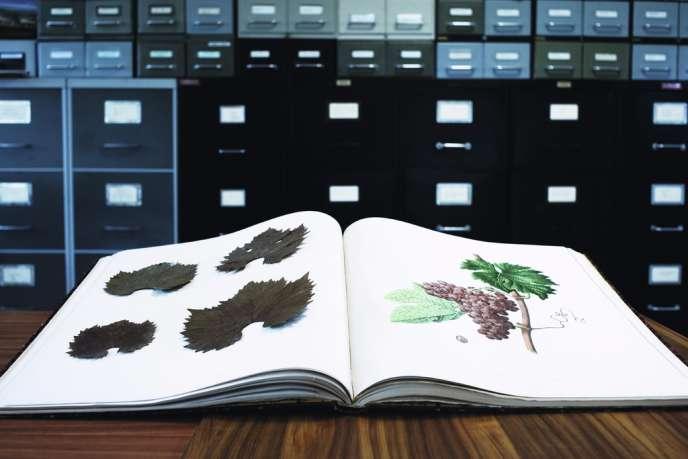 Dans ce conservatoire géré par l'INRA, plus de 2600 cépages sont méticuleusement identifiés, étiquetés, classifiés et étudiés.