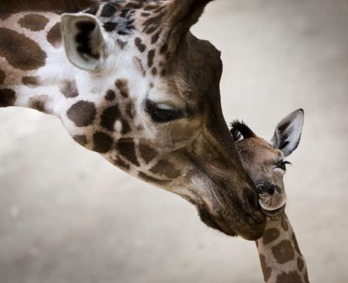 Des girafes de l'Opel-Zoo à Kronberg, en Allemagne, le 7 janvier.