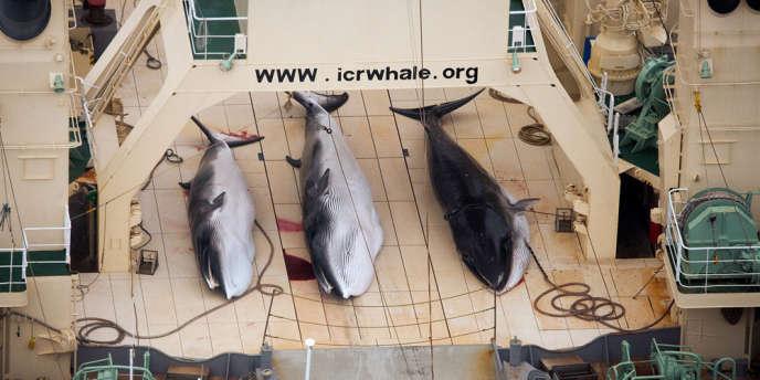 Trois baleines pêchées par le navire japonais