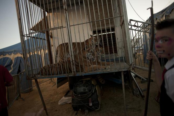 L'hébergement et les transports ne sont pas appropriés aux animaux sauvages, a jugé le Conseil du bien-être animal belge. Ici, un cirque allemand en tournée en Espagne.