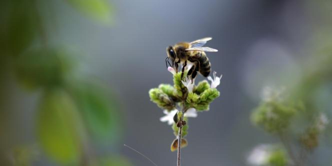 Les ruchers américains sont frappés, depuis près d'une décennie, par d'importants dépeuplements.