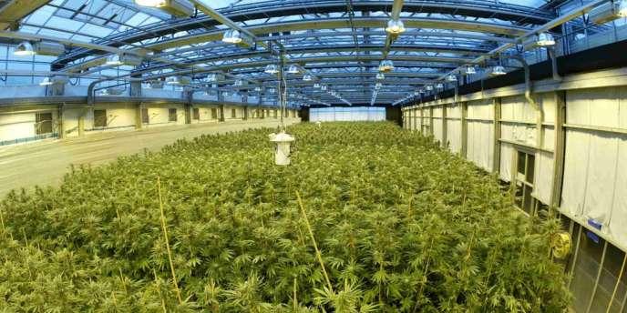 Unité de production de cannabis pour le Sativex, le 10 novembre 2013.