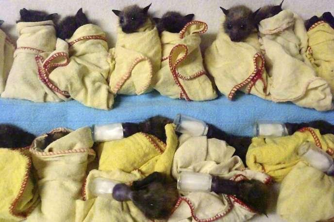 Des jeunes chauves-souris soignées à l'Australien Bat Clinic, près de Gold Coast, en Australie le 9 janvier.
