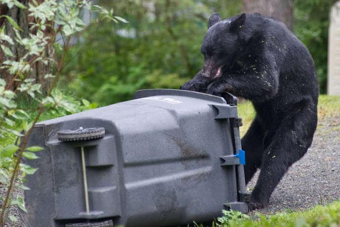 Un ours fait les poubelles de Juneau (Alaska).