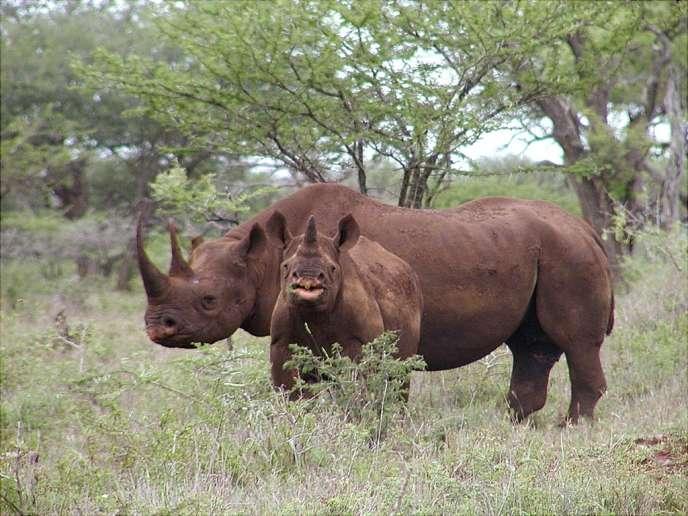 Rhinocéros noirs à Mkuze, en Afrique du Sud.