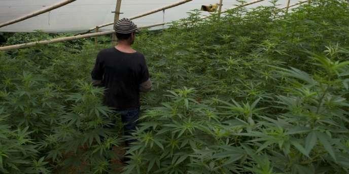 Un homme marche dans une serre abritant des plants de marijuana, le 9 décembre à Corinto, Colombie.