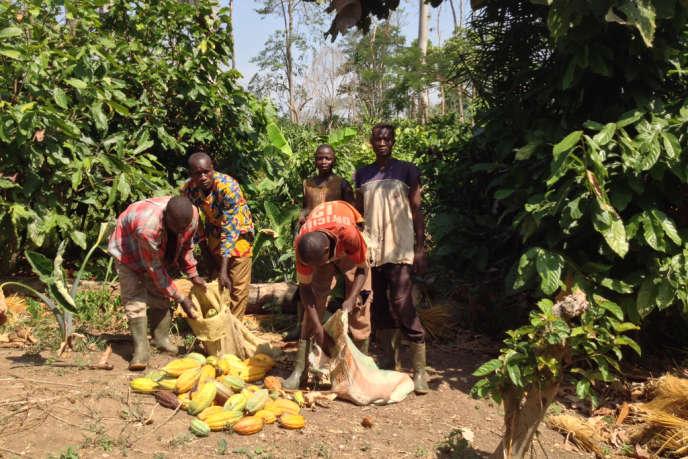 Récolte illégale de cacao par des paysans burkinabés, dans le parc national du Mont-Péko (Côte d'Ivoire), en janvier 2014.