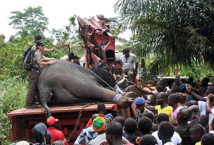 Un éléphant anesthésié en cours de relocalisation, transporté par le Fonds international pour la protection des animaux (IFAW), le 22 janvier à Daloa.