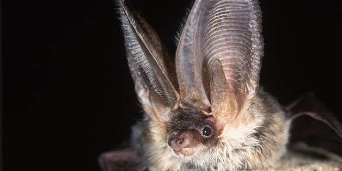 Un oreillard gris (Plecotus austriacus), une espèce commune dans une grande partie de l'Europe qui ne mesure pas plus de 6 cm.