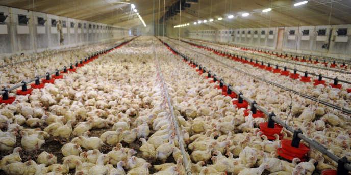 Un élevage de poulets en batterie.