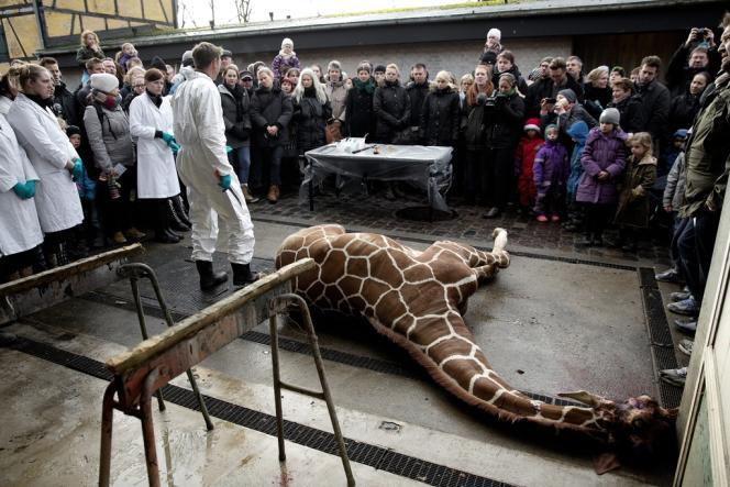 La dépouille du girafon euthanasié au zoo de Copenhague, avant sa dissection devant le public, le 9 février.