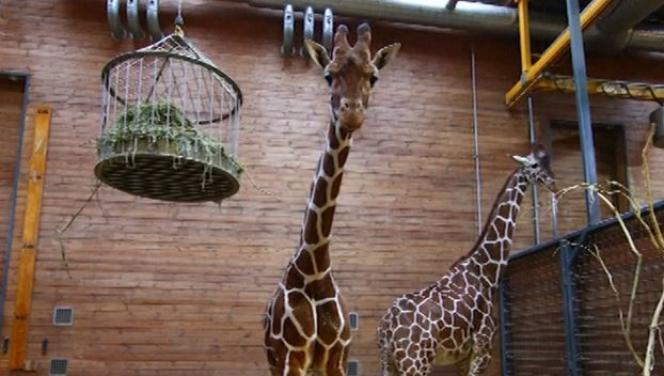 Marius, le girafon d'un an et demi, qui a été abattu dimanche au zoo de Copenhague.