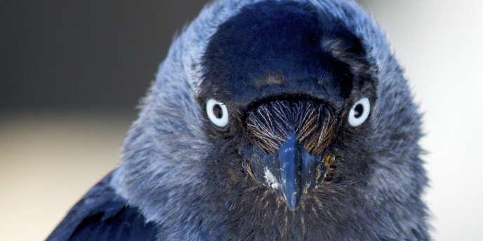 La brillance de ses yeux permet au choucas de prévenir ses congénère de sa présence dans un nid.