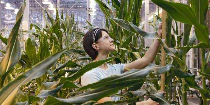 Du maïs dans un laboratoire du semencier américain Pioneer, à Johnston (Iowa), en février 2012.