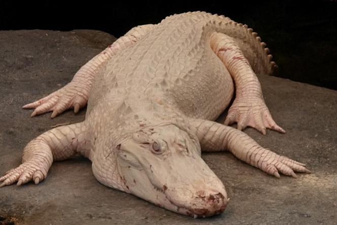 Claude, alligator albinos et célèbre pensionnaire  de l'Académie des Sciences de Californie (Golden Gate Park, San Francisco, Etats-Unis)