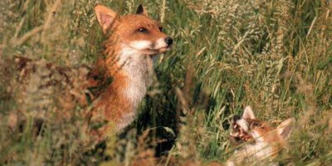 Un couple de renards en Mayenne.
