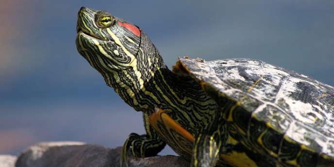 La tortue de Floride, une des espèces symboles de l'invasion biologique.